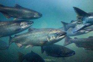 Fisch des Jahres 1996: Die Meerforelle