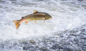 Fisch des Jahres 2000: Der atlantische Lachs