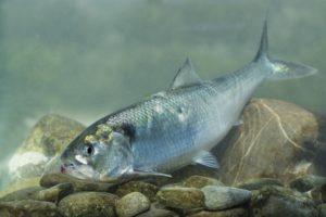 Fisch des Jahres 2004: Der Maifisch