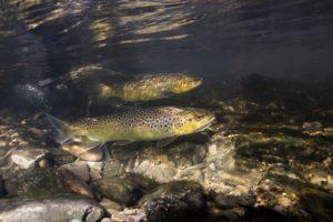 Fisch des Jahres 2005: Die Bachforelle