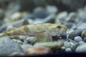 Fisch des Jahres 2006: Die Groppe