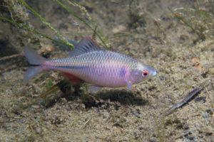 Fisch des Jahres 2008: Der Bitterling