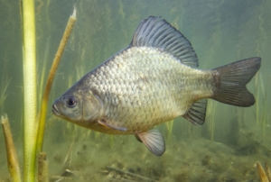 Fisch des Jahres 2010: Die Karausche