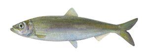Fisch des Jahres 2021: Der atlantische Hering