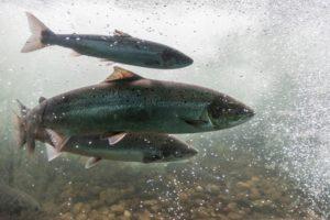 Fisch des Jahres: Der atlantische Lachs