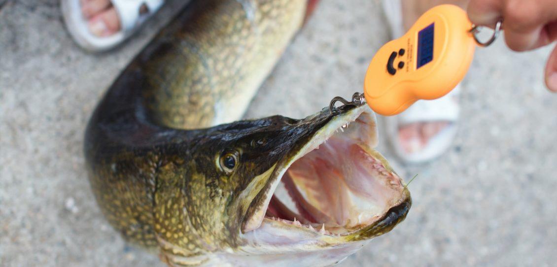 Fischwaage / Angelwaage - Fisch richtig wiegen