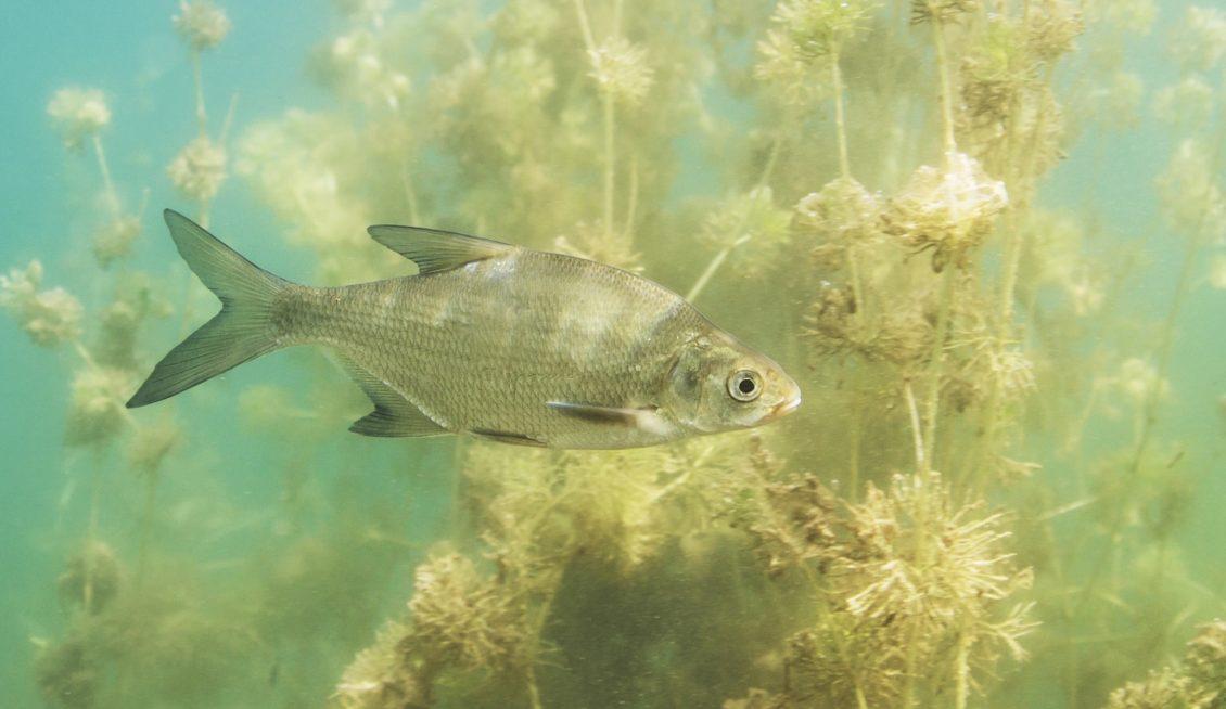 Güster Jungfisch