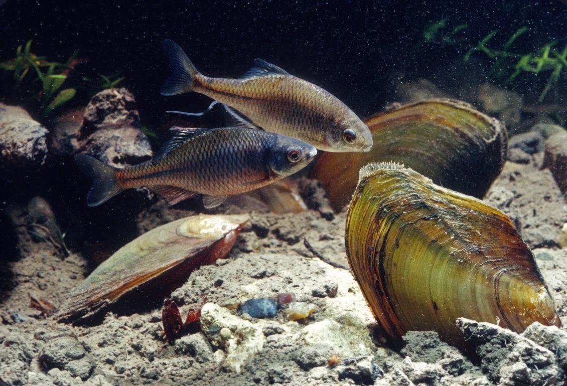 Bitterling Männchen und Weibchen vor Eiablage in Muschel