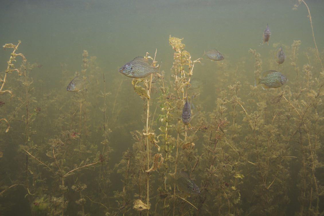 Eine Schule Sonnenbarsche zwischen Unterwasserpflanzen